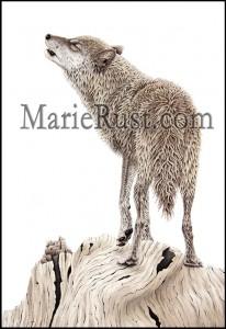 grey-wolf-big